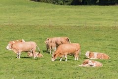 Simmental herd Royalty Free Stock Images