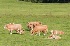 Simmental kudde royalty-vrije stock afbeeldingen