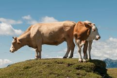 Simmental Ox And Cow On Top Of The Hill Royalty Free Stock Images