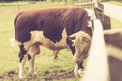 Simmental Stier und Zaun Stockbild