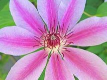 Simmetria della fioritura della clematide - macro fotografia stock libera da diritti