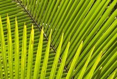 Simmetria di una foglia di palma fotografie stock