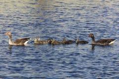 Simning Duck Family Royaltyfri Fotografi