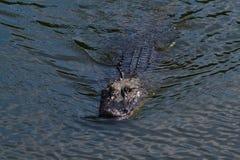 Simning för amerikansk alligator (alligatormississippiensis) i träsket Fotografering för Bildbyråer