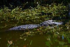 Simning för amerikansk alligator (alligatormississippiensis) i träsket Royaltyfria Foton