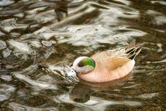 Simning för amerikansk Wigeon i ett damm royaltyfria foton