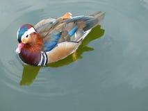 Simning för anka för mandarinand i ett damm arkivbild