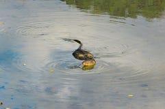 Simning för bildskärmödla i en grund flod royaltyfri foto