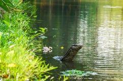 Simning för bildskärmödla i en vattenkanal royaltyfria bilder