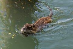 Simning för bisam (Ondatra Zibethica) Fotografering för Bildbyråer
