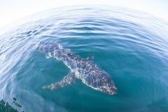 Simning för blå haj i Atlanticet Ocean fotografering för bildbyråer