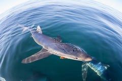 Simning för blå haj i lugna vatten royaltyfri foto