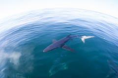 Simning för blå haj i stillheten Atlantic Ocean royaltyfri foto