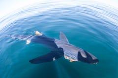 Simning för blå haj på yttersida av havet royaltyfria foton