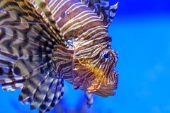 Simning för Closeuplejonfisk under vatten Arkivfoto