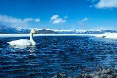 Simning för cygnus för Whoopersvan eller Cygnuspå sjön Kussharo i vinter på Akannationalparken, Hokkaido, Japan, berg som täckas  fotografering för bildbyråer
