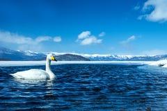 Simning för cygnus för Whoopersvan eller Cygnuspå sjön Kussharo i vinter på Akannationalparken, Hokkaido, Japan, berg som täckas  arkivfoton