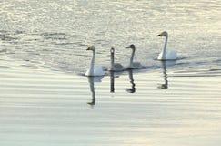 Simning för familj för Whoopersvan Royaltyfri Foto