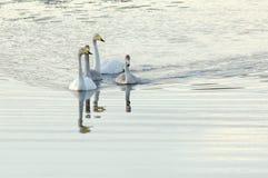 Simning för familj för Whoopersvan Royaltyfri Bild