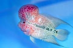 Simning för fisk för Flowerhorn Cichlid färgrik i fiskbehållare arkivbild