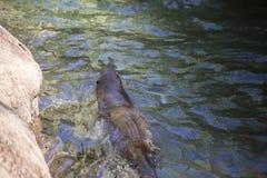 Simning för flodutter arkivbild