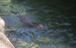 Simning för flodutter arkivfoton