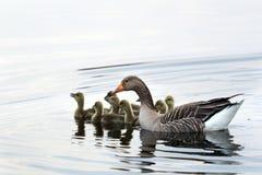 Simning för grågåsgås på sjön royaltyfri bild