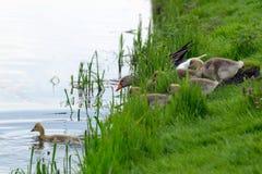Simning för grågåsgås på sjön arkivfoton