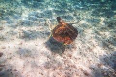 Simning för grön sköldpadda i det karibiska havet royaltyfri foto