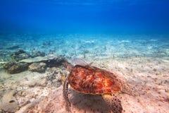 Simning för grön sköldpadda i det karibiska havet royaltyfria foton