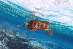 Simning för grön sköldpadda i det karibiska havet Arkivfoto