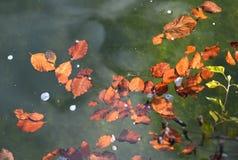 Simning för höstsidor på vattenyttersida royaltyfri fotografi