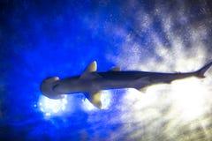 Simning för Hammerheadhaj i sikt för djupblått vatten underifrån royaltyfri bild