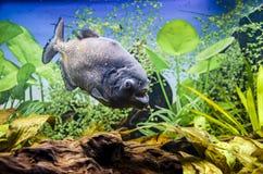 Simning för havsfisk i aquarius Arkivbilder