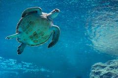 Simning för havssköldpadda i akvarium Arkivfoto