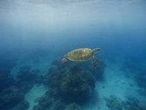 Simning för havssköldpadda i blått vatten med solljus Djupblått hav och djur Arkivbilder