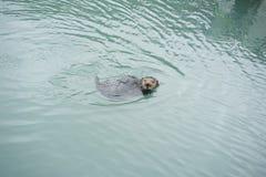 Simning för havsutter arkivbild
