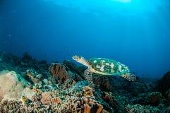 Simning för Hawksbill sköldpadda runt om korallreverna i Gili, Lombok, Nusa Tenggara Barat, Indonesien undervattens- foto arkivfoto