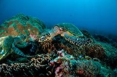 Simning för Hawksbill sköldpadda runt om korallreverna i Gili, Lombok, Nusa Tenggara Barat, Indonesien undervattens- foto arkivbilder