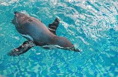 Simning för humboldti för Humboldt pingvinSpheniscus arkivbild