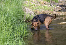 Simning för hund för avel för boxareherde blandad i sjön Arkivbild