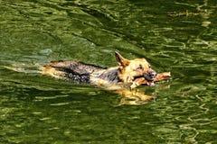 Simning för hund för tysk herde med hämtar pinnen arkivfoto