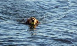 Simning för irländsk setter i havet med bollen i mun royaltyfria bilder
