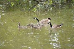 Simning för Kanada gässfamilj Royaltyfria Foton