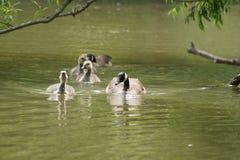 Simning för Kanada gässfamilj Royaltyfri Foto