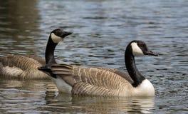Simning för Kanada gässpar i sjön royaltyfria foton