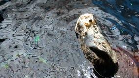 Simning för längd i fot räknatnolla-utter på baksida i vatten på zoo lager videofilmer