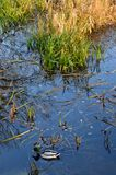 Simning för lös and bredvid färgrikt gräs Royaltyfri Fotografi