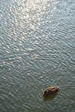 Simning för lös and på sjön royaltyfri bild