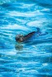 Simning för marin- leguan i grunt blått vatten fotografering för bildbyråer